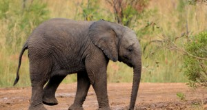Serengeti nacionalinis parkas – užuovėja drambliams