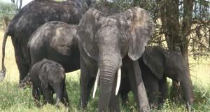 Neigiami socialiniai veiksniai dramblius našlaičius persekioja visą gyvenimą