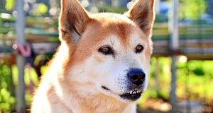 Kaip netapti agresyviai nusiteikusio šuns auka?