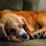 Kaip prižiūrėti šunis senjorus?