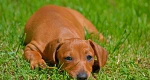 Ką reikėtų apgalvoti prieš įsigyjant šunį?