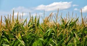 GMO auginimas nuo šiol Lietuvos rankose