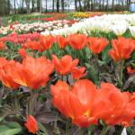 Daili, bet reikli pavasario karalienė – tulpė