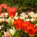 """Tulpių žydėjimo savaitę pradėjo paroda """"Tulpės gamtoje, buityje ir mene"""""""
