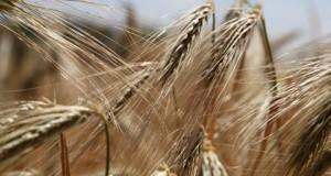 Maistiniai grūdai patikrinti dėl pesticidų likučių
