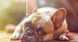 Kaip stiprinti gyvūnų imuninę sistemą