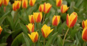 Kauno botanikos sode skleidžiasi didžiausia tulpių ekspozicija per pastaruosius du dešimtmečius