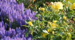 VDU botanikos sodo rožyne – netikėtos augalų derinimo idėjos