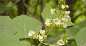 VDU Botanikos sode kvapniais žiedais puošiasi Londono Karališkosios draugijos už grožį įvertinti medžiai