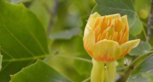 VDU botanikos sodo parke žiedais apsipylė tulpmedžiai