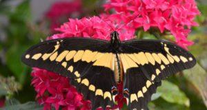 Į VDU Botanikos sodą – pasigrožėti įvairiaspalviais atogrąžų drugiais