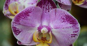 Kuo kvepia adventas VDU Botanikos sode?