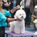 Garbanotieji bišonai – aristokratų šunys, paperkantys meilumu ir linksmumu