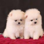 Pomeranijos špicai – pūkuotieji mažyliai, nepaliekantys abejingų