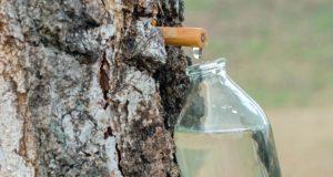Gamtos energinis gėrimas – sula. Kada ir kaip ją išgauti?