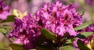Kaune pražydo turtinga VDU Botanikos sodo rododendrų kolekcija
