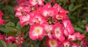 Didžiausias Lietuvos rožynas šiemet sužydo neįtikėtinai anksti