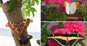 VDU Botanikos sode – įvairiaspalvių atogrąžų drugių paroda